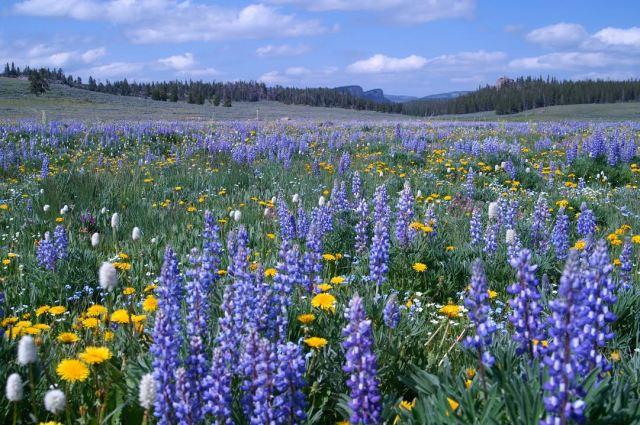 beartooth flowers