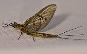 Mayfly 2