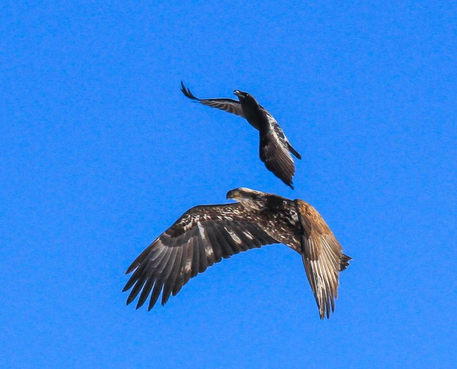 Raven harrassing a golden eagle. A subsequent photo shows the two battling over an animal carcass.