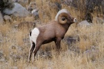The proposed zone is rich ecosystem, home to Bighorn sheep, bear, elk, deer, foxes, eagles and many other animals