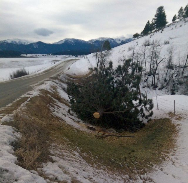 One of several trees cut on Fiddler Creek Road. Photo: Virginia Cross